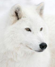white wolf...beautiful!