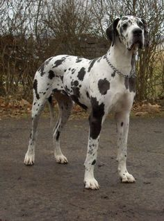 This Great Dane looks like a large Dalmatian!!!