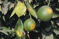 Identifying Diseases - for my lemon tree