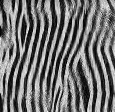 pelo zebra