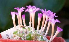 Conophytum obscurum ssp. obscurum 'barbatum'