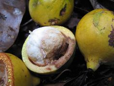 Garcinia macrophylla | Reflorestamento no Sul da Bahia