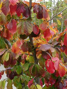 Parrotia persica by KarlGercens.com, via Flickr