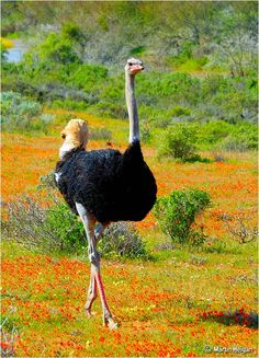 Ostrich (Struthio camelus) walks though fields of wild flowers in Namaqualand (Garies and Hondeklipbaai), Northern Cape, South Africa. Driving along the Cape of Good Hope the ostrich were only 4 - 5 feet away from our car. Beautiful Birds, Animals Beautiful, South African Birds, Camelus, Out Of Africa, Big Bird, African Animals, Wild Birds, Belle Photo