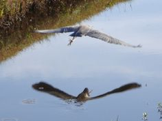 Sometimes you just get lucky. Caught this blue heron taking off with its reflection on the water.