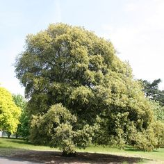 Buy holm oak Quercus ilex: Delivery by Waitrose Garden in association with Crocus