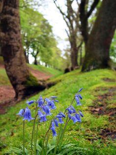 Wild bluebells, (by kenny barker)