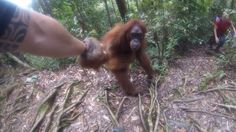 June 12, 2017 - A tourist in the jungles of Indonesia got up close and personal with a clingy orangutan.  Filmed in the Bukit Lawang jungle, the orangutan grabs the woman's hand and holds on for close to five minutes. The orangutan seems comfortable with human interaction, indicating it was likely captive before being released into the wild. Most attempts at bribery with fruit are unsuccessful, but eventually the orangutan lets go and the woman is freed.Click here to read more about the e...