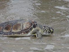 green sea turtle on Oak Island, NC