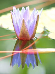 睡蓮:草津市立水生植物公園