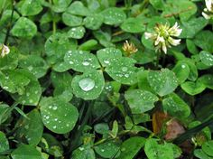why do i find so many four leaf clovers - Google Search
