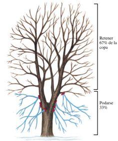 Introducción   El propósito de la poda es tener plantas fuertes, sanas y atractivas. Esta meta se puede alcanzar sabiendo cómo, cuán...