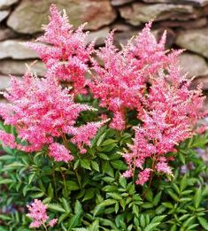 Feathery Astilbe is perfect for shade gardens! See more of the best perennials for shade: http://www.bhg.com/gardening/flowers/perennials/the-best-perennials-for-shade/?socsrc=bhgpin041513astilbe=12
