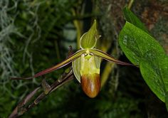 Phragmipedium longifolium, by DansPhotoArt, via Flickr