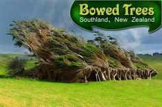 Bowed Trees - #Southland, New Zealand :  |  #trees #treesinnewzealand #travel #newzealand #kiwitravel #flightstonewzealand  |    low cost #flights to New Zealand : http://www.kiwitravel.co.uk/