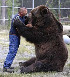 Jimbo the 9ft Kodiak bear still loves a playful hug from his carer #dailymail