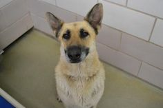 Adopt Peace, a lovely 6 years Dog available for adoption at Petango.com.  Peace is a German Shepherd and is available at the Cuyahoga County Animal Shelter in CLEVELAND, OH