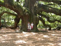 The Angel Oak Tree is one of the oldest trees in North America