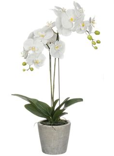 A31328 Phalaenopsis Orchid Pot