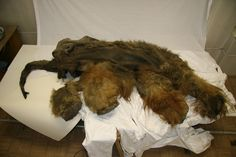 96c468d7654 The young woolly mammoth s brain is the only such practically intact  specimen known