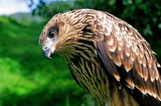 Raptors Birds of Prey | Bird Prey
