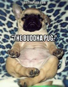"""""""Ooooommmmm."""" ・・・ www.jointhepugs.com ・・・ #pugpower #pugsnotdrugs #pugpuppy #puglover #dogs #puglovers #votepug #pugchat #cuteness #pugs #pugrequest #pugnation #dogstagram #dogsofinstagram #puppyeyes #pugstagram #pugworld #pugplanet #dogsofinstaworld #petstagram #instadog #instapug #pug #babypug #pugoftheday #pugsofinstaworld #pugsofig #pugsforever"""