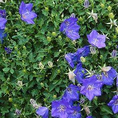 Karpaten-Glockenblume (Campanula carpatica 'Blaue Clips')