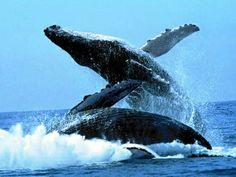 Balene 2