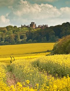 Belvoir Castle overlooking the yellow fields of Leicestershire, England (by wilsonaxpe).