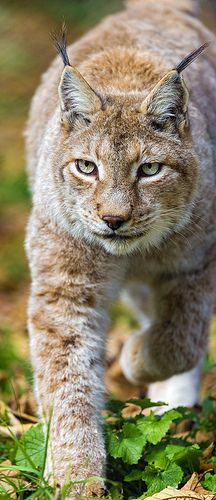 Lynx walking towards me