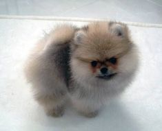 Adorable tiny AKC #pomeranian puppy