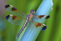 Dragonfly Macro | Flickr - Photo Sharing!
