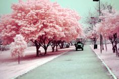 Cherry blossoms in Japan.