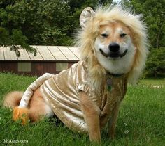 Smiling Shiba Inu. Lion Halloween costume