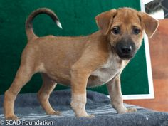 Somnig is a very friendly pup, who approaches strangers easily, is affectionate and loves attention. She likes to play with her siblings and toys, and would make a great family pet.