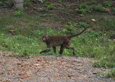 Monkey, Khao Sam Roi Yot National Park, Thailand