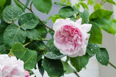 Fantin Latour | Types of Roses | Hedgerow Rose