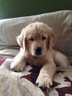 d938756a 400 Best Golden Retriever images | Cute puppies, Cutest animals ...