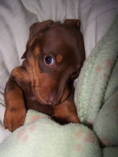 Omg what a look!! This doxie is going to have everyone in the palm of it's hands for the rest of it's life