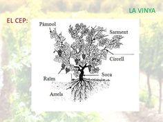 Partes de la viña, el cepo