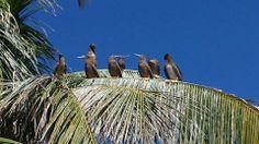 Some friendly sea birds taking a break in a coconut tree at Robert's Grove Belize #robertsgrove #belize #belizebirding