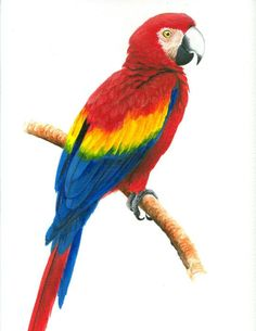 A beautiful drawing of a scarlet macaw (Christopher cox)
