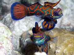 The Mandarinfish, native to the Pacific