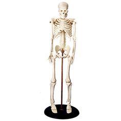 Anatomical Chart Company Miniature Skeleton Anatomical Model | allheart.com - $23.28