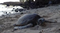The sea turtle, Chelonia mydas, on the northern shore of Oahu, Hawaii