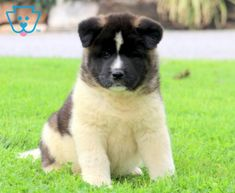 Scout | Akita Puppy For Sale | Keystone Puppies Akita Puppies For Sale, Newborn Puppies, New Puppy, Handsome, Dogs, Animals, Chicken, Recipe, Animales