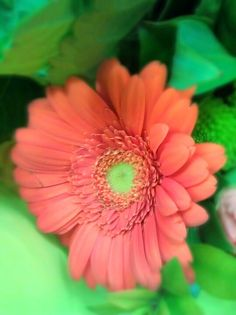 Orange Daisy stand out  from the fresh green !  #flower #spring
