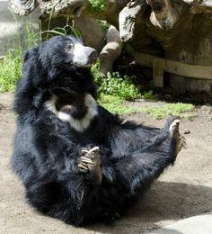 Sloth bear at the San Diego Zoo. Sloth Bear, Bear Cubs, Moon Bear, San Diego Zoo, Fauna, Black Bear, Spirit Animal, Animal Drawings, Animal Kingdom