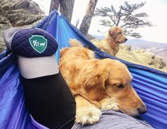 """9,883 Likes, 103 Comments - Camping With Dogs® (@campingwithdogs) on Instagram: """"Hammock hangs with @samanthabrookephoto and her adorable goldens. #campingwithdogs  Shop for the…"""""""