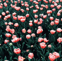 tulips / photo by sorovad